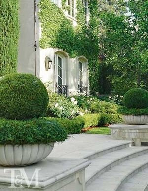 Large pots with boxwood