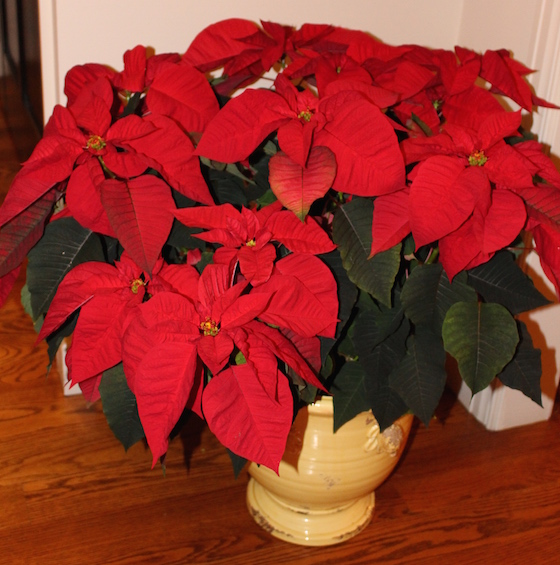 Pointsettia in Ceramic Pot