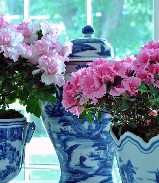 Azaleas in Blue and White Pots