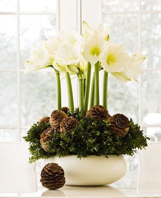 Forcing bulbs for the Christmas Holiday adds a festive touch to your decorating. Surround your amaryllis bulbs with evergreen cuttings and pinecones.