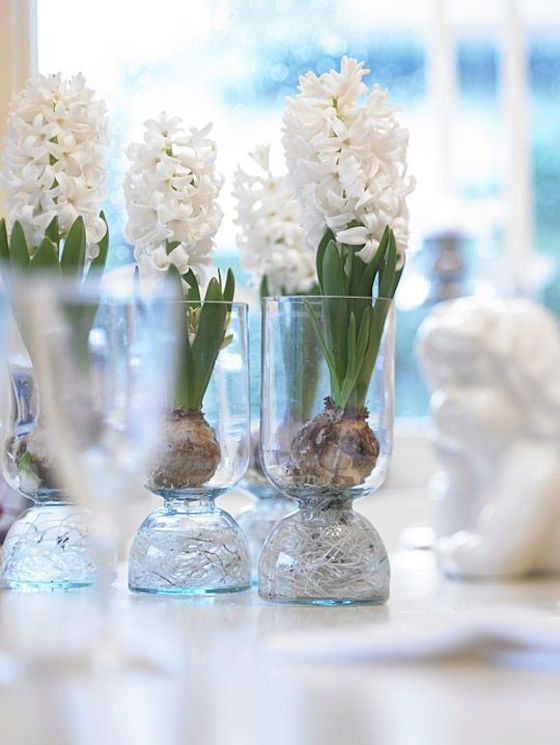 Forcing bulbs for Christmas Holidays adds a festive touch to your decorating. It can be as simple as planting individual hyacinth bulbs in single vases.