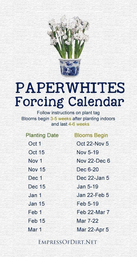 Forcing bulbs for Christmas Holidays adds a festive touch to your decorating. Follow this Paperwhites Forcing Calendar to schedule your planting.