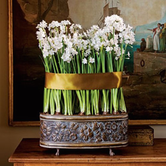 Forcing bulbs for Christmas Holidays adds a festive touch to your decorating. Paperwhites can get leggy and tall. Wrap paper whites with ribbon to prevent them from falling over