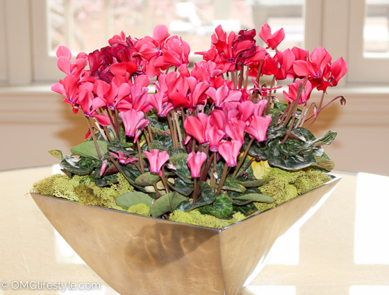 Cyclamen Arrangement
