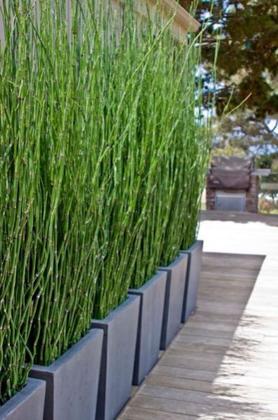 Horsetail Grass in Planters as Privacy Screen. 18 Attractive Privacy Screens for Your Outdoor Areas   OMG