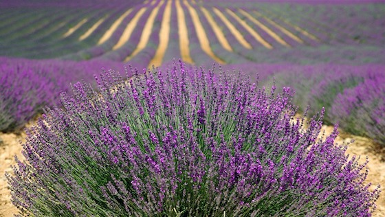 Lavender Sachets are Easy to Make and Ward off Pests